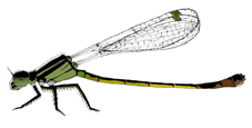 Infuscans female